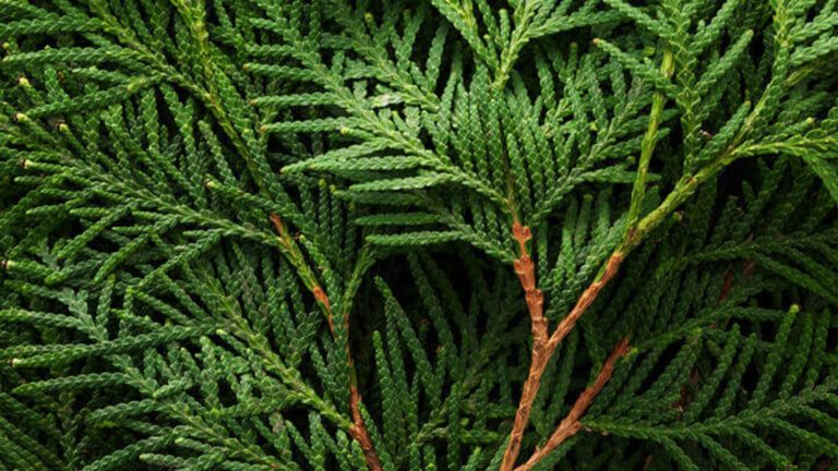 cypress benefits